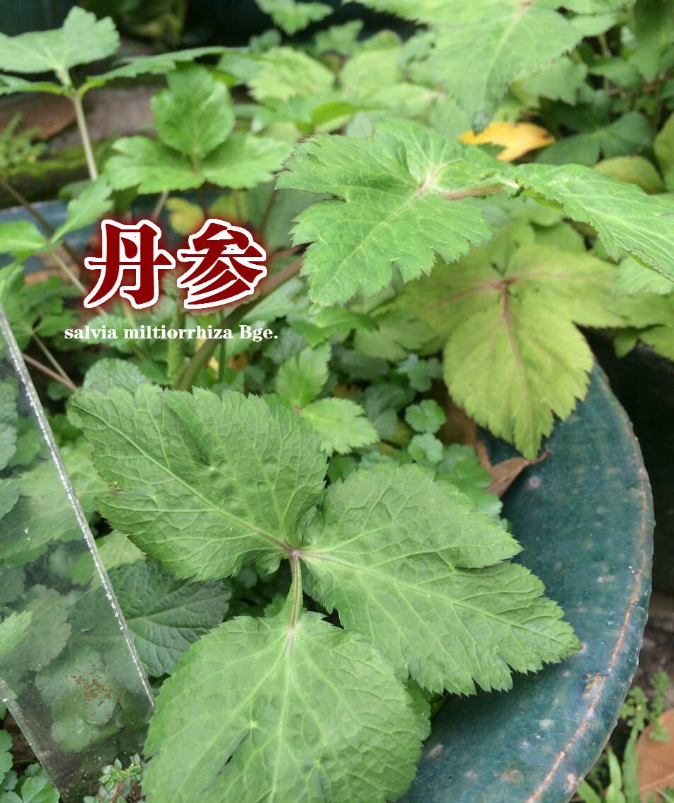 浏览草药园之学习篇 –【丹参】